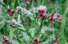 Чорнокорінь лікарський від мишей: як застосовувати, фото рослини