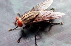 Як позбутися від мух в квартирі: народні засоби, хімічні засоби