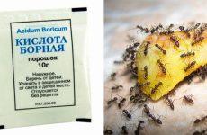 Борна кислота від мурах у квартирі: перевірені рецепти
