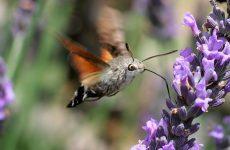 Метелик бражник: опис з фото, причини появи, небезпека