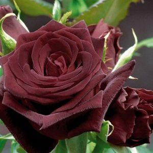 Роза Блек баккара — посадка й догляд, стійкість до захворювань
