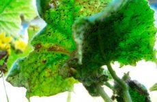 Попелиця на огірках: як боротися, народні засоби, як знищити тлю