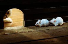 Чого бояться миші: народні засоби для квартири і будинки, ефірні масла