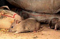Як позбутися мишей на дачі: народні засоби, пастки