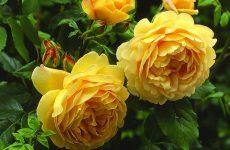 Голден Селебрейшен троянда — опис, правила догляду та посадки