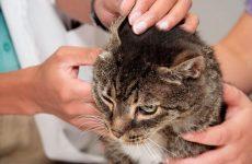 Вушний кліщ у кішок: симптоми і лікування в домашніх умовах