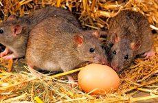 Як позбутися від щурів у курнику: перевірені народні засоби