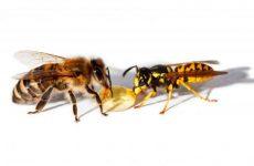 Чим відрізняється бджола від оси: фото приклади, укуси, зовнішні ознаки