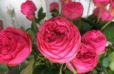 Роза Піано — відмітні особливості, правила вирощування