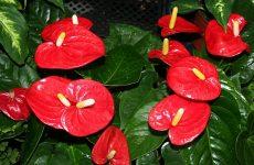 Антуріум червоний — різновиди, оптимальні умови