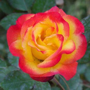 Двоколірні троянди — різновиди, сорти, опис відтінків