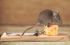 Як боротися з мишами в приватному будинку: народні засоби, хімічні препарати
