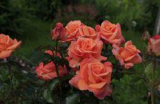 Чайно-гібридні троянди — характристика виду, кращі сорти, догляд