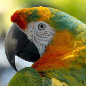 Що робити якщо папуга отруївся кормом – симптоми і лікування