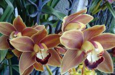 Орхідея цимбідіум — опис, умови для вирощування, правила догляду