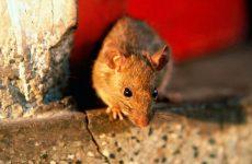 Кошти від мишей в приватному будинку: огляд ефективних засобів