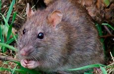 Земляний щур в городі: як позбутися, народні засоби