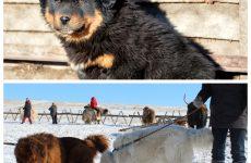 Монгольська вівчарка – особливості утримання і розведення.