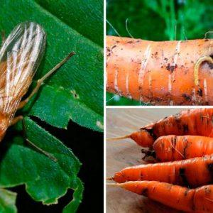 Морквяна муха: як з нею боротися, чим обробити, народні засоби