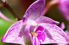 Дендробіум Кінга — опис орхідеї, особливості вирощування