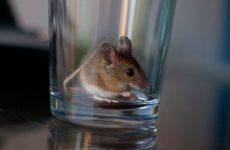 Як зловити мишу в будинку без мишоловки: саморобні пастки