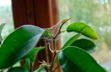 Павутинний кліщ на кімнатних рослинах: як боротися, народні засоби, препарати