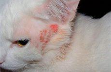 Волосоїди у кішок: симптоми і лікування, кошти від волосоїдів