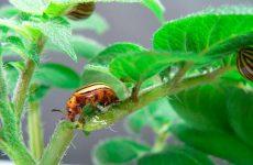 Колорадський жук: як позбутися, ефективні народні засоби