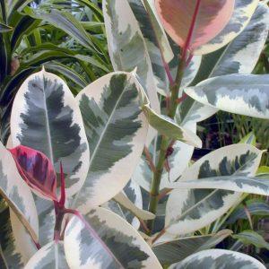 Фікус Ряболисті — опис видів, особливості догляду, розмноження