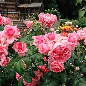 Троянди Флорибунда що це таке, кращі сорти виду, посадка і догляд