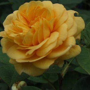 Грехам Томас — особливості троянди, догляд, розмноження, добриво