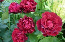 Homage a Barbara Омэж е Барбара троянда — опис, посадка і догляд