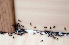 Як позбутися від мурашок в приватному будинку: народні засоби