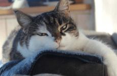 Короновирусный гастроентерит у кішок: симптоми і лікування
