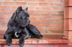 Купірування вух у собак – яким порід проводять операцію, протипоказання.