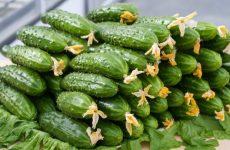 Кращі сорти огірків, топ-10 рейтинг хороших сортів огірків 2018