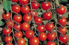 Кращі сорти томатів, топ-9 рейтинг хороших сортів помідор 2019-2020