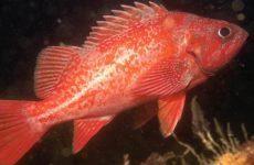 Морський окунь: користь і шкоду для організму, калорійність риби на 100 грам