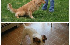 Нетримання сечі у собаки – причини, лікування, профілактичні заходи