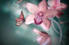 Орхідея Метелик — опис, умови утримання, догляд, види