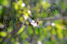 Павук – це комаха або тварину? Клас, до якого відносяться павуки