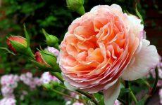 Роза Абрахам Дербі — опис, догляд, розмноження, хвороби