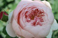 Роза Алнвік Роуз — опис, характеристики, особливості вирощування