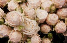 Роза Бомбастик — опис квітки, використання в дизайні саду