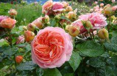 Роза Чіппендейл — опис, догляд та розмноження