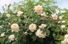 Роза Ilse Krohn Superior — особливості, правила вирощування, догляд