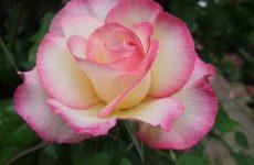 Роза Хендель — зовнішні особливості, розмноження, догляд