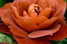 Роза Кава Брейк — який має вигляд, як правильно доглядати