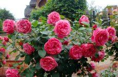 Роза Леонардо да Вінчі — опис, догляд, розмноження, захист від хвороб