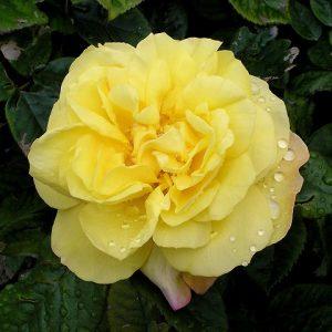 Роза Лихткенигин Лючія — опис, особливості вирощування